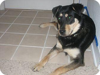 German Shepherd Dog/Husky Mix Dog for adoption in Cantonment, Florida - Jade