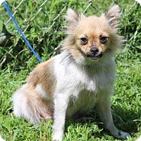 Adopt A Pet :: Layla - Washington, DC
