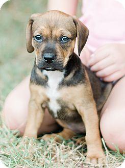 American Staffordshire Terrier Mix Puppy for adoption in Seneca, South Carolina - Rachel $250
