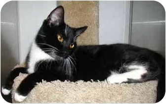 Domestic Shorthair Cat for adoption in San Diego, California - Rodeo