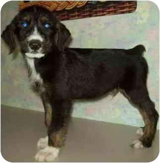 Terrier (Unknown Type, Medium) Mix Puppy for adoption in North Judson, Indiana - Skipper