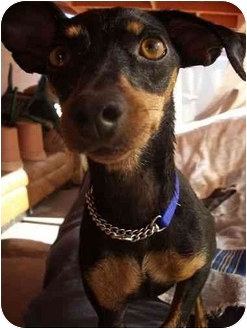 Miniature Pinscher Dog for adoption in Phoenix, Arizona - Fallon
