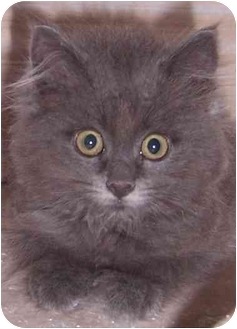 Domestic Longhair Kitten for adoption in Oklahoma City, Oklahoma - Bailey