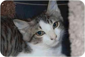 Domestic Mediumhair Kitten for adoption in Tampa, Florida - Pippin
