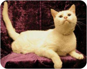 Domestic Shorthair Cat for adoption in Sacramento, California - Grandpa
