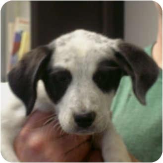 Australian Cattle Dog Dog for adoption in Manassas, Virginia - Danielle