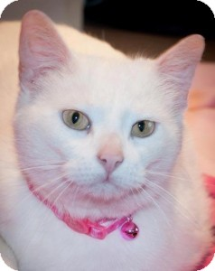 Domestic Shorthair Cat for adoption in Rochester, New York - Felicia