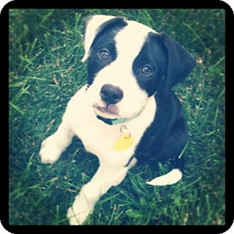 Border Collie/Pointer Mix Puppy for adoption in Westminster, Colorado - Buddy