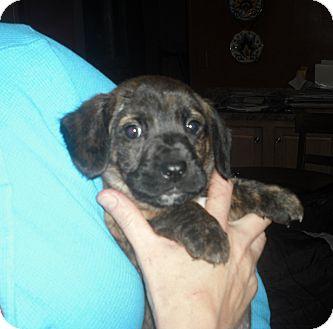 Corgi/Hound (Unknown Type) Mix Puppy for adoption in Cincinnati, Ohio - Ozzie