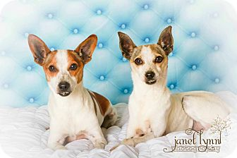 Feist Mix Dog for adoption in Chattanooga, Tennessee - Jack & Jill