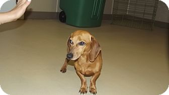 Dachshund Dog for adoption in Marshall, Texas - Buster