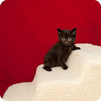 Domestic Shorthair Cat for adoption in Rock Springs, Wyoming - Jynx