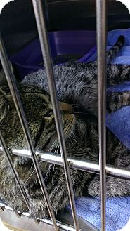Domestic Shorthair Cat for adoption in Pittstown, New Jersey - Prince