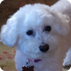 Bichon Frise Mix Dog for adoption in La Costa, California - Missy