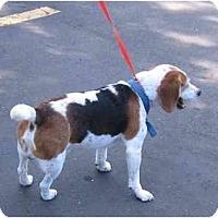 Adopt A Pet :: Dutch - Portland, OR