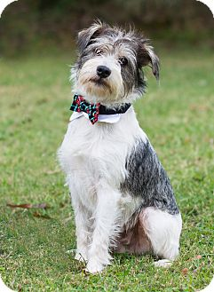 Wirehaired Fox Terrier/Schnauzer (Miniature) Mix Puppy for adoption in Glastonbury, Connecticut - Briggs