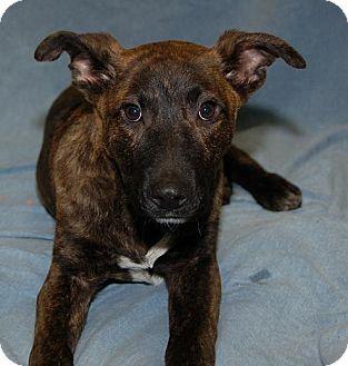 Labrador Retriever Dog for adoption in Fort Walton Beach, Florida - Davis