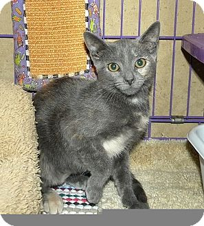 Domestic Shorthair Kitten for adoption in Tampa, Florida - Destiny