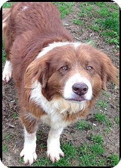 Australian Shepherd/Chow Chow Mix Dog for adoption in Colonial Heights, Virginia - Rosie