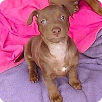 Adopt A Pet :: Little Coco**Video* - Pasadena, CA