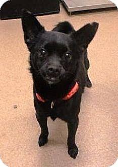 Pug Mix Dog for adoption in Las Vegas, Nevada - Spanky