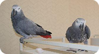 African Grey for adoption in St. Louis, Missouri - Skylar & Skeeter