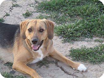 Labrador Retriever/German Shepherd Dog Mix Dog for adoption in Liberty Center, Ohio - Lacey