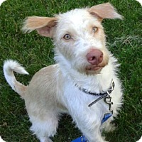 Adopt A Pet :: Gulliver - Mississauga, ON
