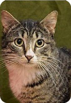 Domestic Shorthair Cat for adoption in Hillside, Illinois - Travis- $65 - GENTLE & HAPPY