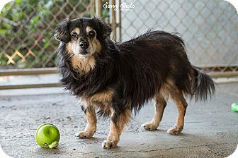 Pomeranian Mix Dog for adoption in Greensburg, Pennsylvania - Hercules