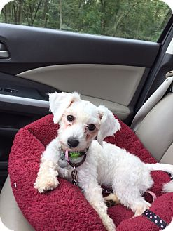 Poodle (Miniature) Mix Dog for adoption in Richmond, Virginia - Snowflake