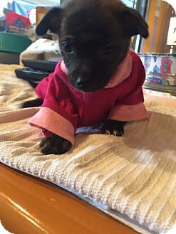Chihuahua Puppy for adoption in Corona, California - Twinkle, Toy puppy chihuahua,