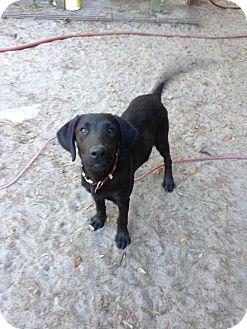 Labrador Retriever Mix Puppy for adoption in Groveland, Florida - Duke