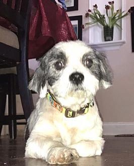 Lhasa Apso/Lhasa Apso Mix Dog for adoption in Miami Shores, Florida - Pinsky
