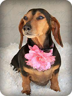 Dachshund Dog for adoption in Omaha, Nebraska - Alice Ann-Pending Adoption