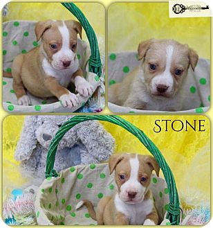 American Pit Bull Terrier Mix Puppy for adoption in DeForest, Wisconsin - Stone