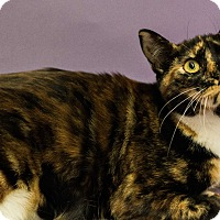 Adopt A Pet :: STARBURST - BEAUTIFUL MARKINGS - Plano, TX