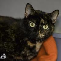 Domestic Shorthair/Domestic Shorthair Mix Cat for adoption in Ottumwa, Iowa - Snickers