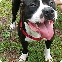 Adopt A Pet :: TANK-The loving big baby - DeLand, FL