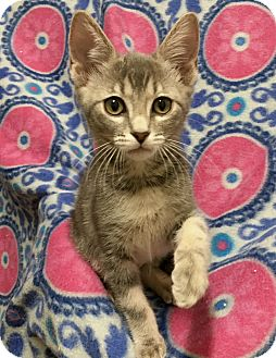 Domestic Shorthair Kitten for adoption in Plano, Texas - PATSY-STERLING SWEETHEART