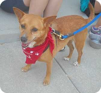 Corgi/Jack Russell Terrier Mix Dog for adoption in Ashland, Virginia - Topper-ADOPTED!!!