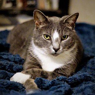 Manx Cat for adoption in Bealeton, Virginia - Dylan