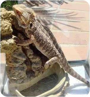 Lizard for adoption in El Cajon, California - 2 bearded dragons