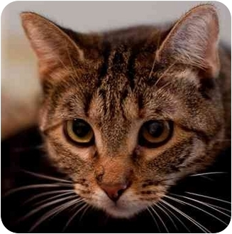 American Shorthair Cat for adoption in Long Beach, New York - Mystery