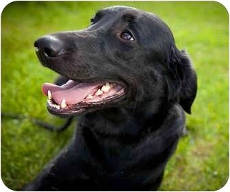 Labrador Retriever Mix Dog for adoption in Ile-Perrot, Quebec - SHADOW