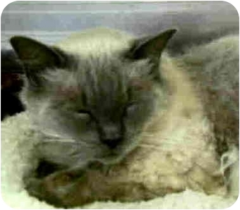 Ragdoll Cat for adoption in San Clemente, California - MAX