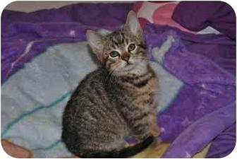 Domestic Shorthair Kitten for adoption in Worcester, Massachusetts - Henry