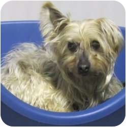 Karelian Bear Dog/Silky Terrier Mix Dog for adoption in Kansas City, Missouri - Scarlett