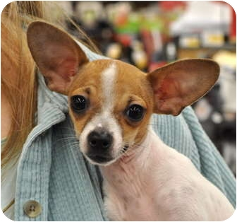 Chihuahua Puppy for adoption in Austin, Texas - Hank the Tank