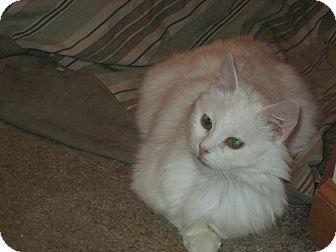 Domestic Longhair Cat for adoption in Warren, Ohio - Sophia